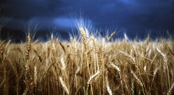 Eye Fetch Photography Stormy Wheat Fields by Diane Loft
